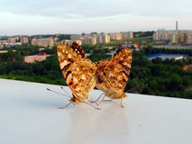 Motyli kochankowie Zdjęcia Stock