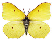 motyli kolor żółty obrazy royalty free