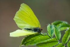 motyli kolor żółty Zdjęcie Royalty Free
