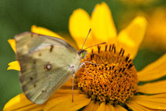 motyli kolorowy kwiat Fotografia Royalty Free