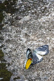 Motyli kotelnia rytuał Obrazy Royalty Free