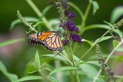 Motyli krzak z monarchicznym motylem Zdjęcia Royalty Free