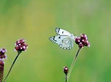 motyli kwiat Fotografia Stock