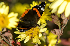 motyli kwiat Obraz Royalty Free