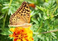 motyli kwiat Fotografia Royalty Free