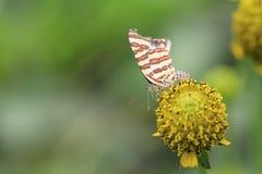 motyli kwiat Obraz Stock