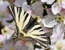 Motyli kwitnący jabłko Obraz Stock