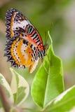 motyli lacewing Zdjęcia Stock
