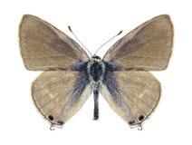 Motyli Lampides boeticus (kobieta) Zdjęcie Stock