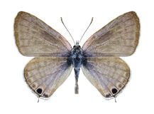 Motyli Lampides boeticus (samiec) Fotografia Stock