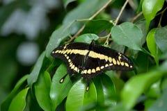 motyli latający gigantyczni heraclides swallowtail thoras w kierunku spodu widza Zdjęcia Stock