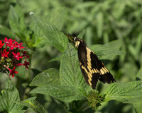 motyli latający gigantyczni heraclides swallowtail thoras w kierunku spodu widza Zdjęcie Royalty Free