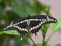 motyli latający gigantyczni heraclides swallowtail thoras w kierunku spodu widza Obraz Royalty Free