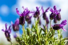 Motyli lawendy i niebieskiego nieba tło Zdjęcia Stock