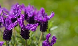 Motyli lawendy zieleni ogródu tło Obraz Royalty Free