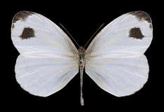 Motyli Leptosia Nina Obrazy Stock