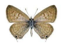 Motyli Leptotes pirithous (kobieta) Obraz Stock