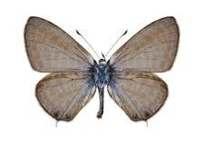 Motyli Leptotes pirithous (samiec) Fotografia Royalty Free