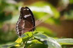 motyli liść Fotografia Royalty Free