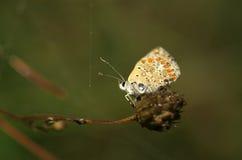 Motyli Lycaena alciphron - zakończenie up Obrazy Stock