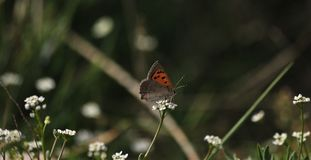 Motyli Lycaena phaleas nad dziką marchewką kwitną fotografia stock