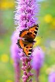 Motyli (małego tortoiseshell) obsiadanie na purpurowym kwiacie Fotografia Royalty Free