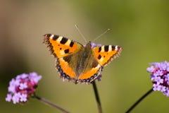 motyli mały tortoiseshell Zdjęcie Stock