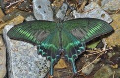16 motyli maackii papilio zdjęcie stock