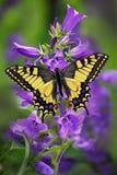 Motyli machaon lub koloru żółtego swallowtail na gronie bellflower zdjęcie royalty free