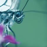 motyli macro Zdjęcie Stock