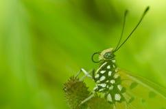 motyli macro Fotografia Stock