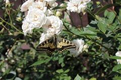Motyli makhaon, siedzi na białej róży Zdjęcie Stock