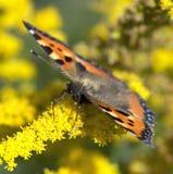 Motyli makro- na kwiacie Obraz Royalty Free