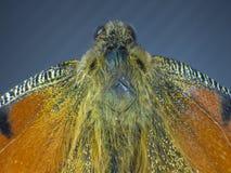 Motyli makro-, skrzydło Obraz Royalty Free