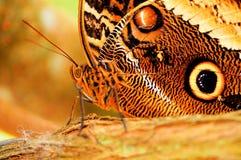 Motyli makro-, sowa (spód) Obrazy Stock