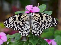 Motyli makro- strzał Fotografia Royalty Free