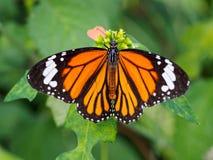 Motyli makro- strzał Zdjęcia Stock