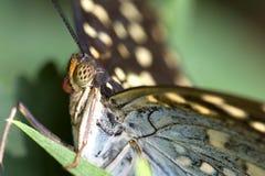 motyli makro- super Obraz Royalty Free