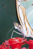 motyli makro- tropikalny Obrazy Stock