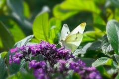Motyli mali biali heliotropów kwiaty Fotografia Royalty Free