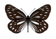 Motyli Metaporia agathon Fotografia Royalty Free
