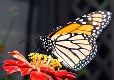 motyli monarcha Zdjęcia Stock