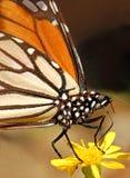 motyli monarcha Zdjęcie Stock
