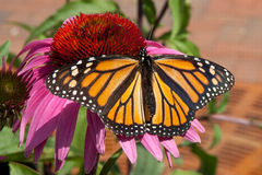 motyli monarcha Zdjęcia Royalty Free