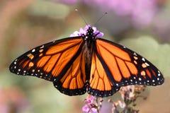 motyli monarcha Fotografia Stock