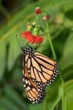 motyli monarcha Obrazy Stock
