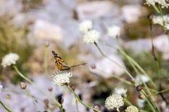 Motyli monarcha na łąkowym koniczynowym kwiacie Zdjęcie Stock