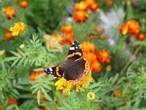 Motyli monarcha zbiera nektar od nagietków Tło dla Zdjęcie Stock