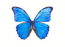 Motyli Morpho Didius Fotografia Stock