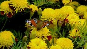Motyli napoju nektar na żółtym kwiacie zbiory